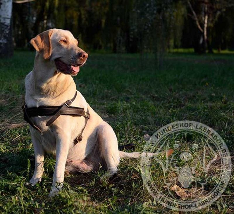 Zuggeschirr  durchgedacht fuer Labrador