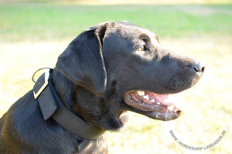 Hundehalsband fest fuer Labrador