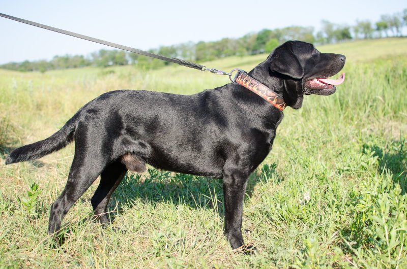 Hundehalsband Flamme  fuer Labrador