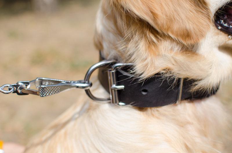 Hundehalsband aus echtem Leder fuer Labrador
