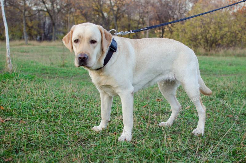 Hundehalsband aus Nylon fuer Labrador