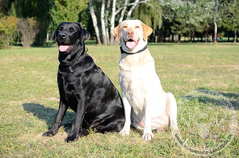 Schwarzer und Strohgelber Labrador